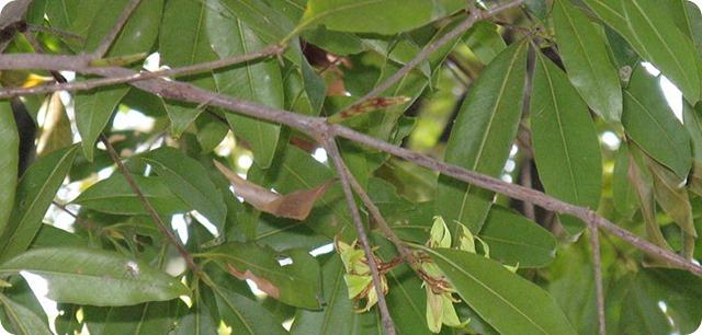 1024px-Quercus_sessilifolia3