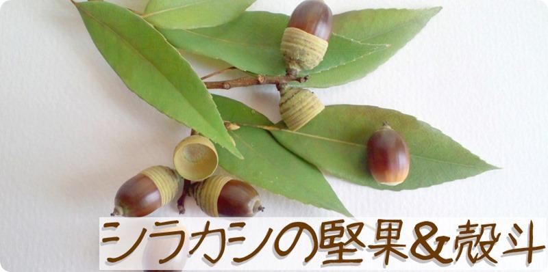 シラカシの殻斗と堅果