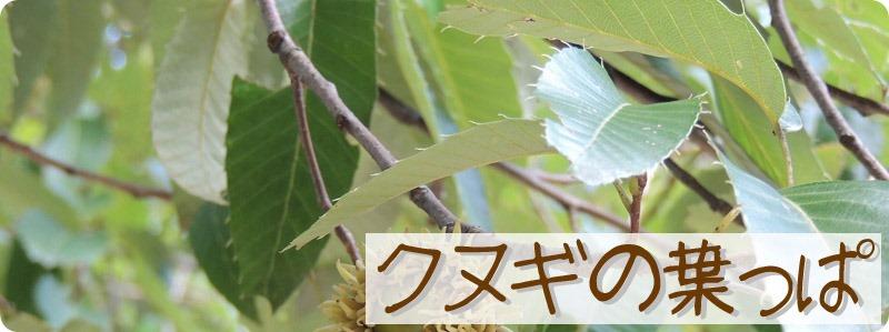 クヌギの葉っぱ