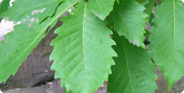 800px-Leaves_of_Quercus_crispula