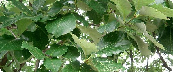 Quercus_aliena2