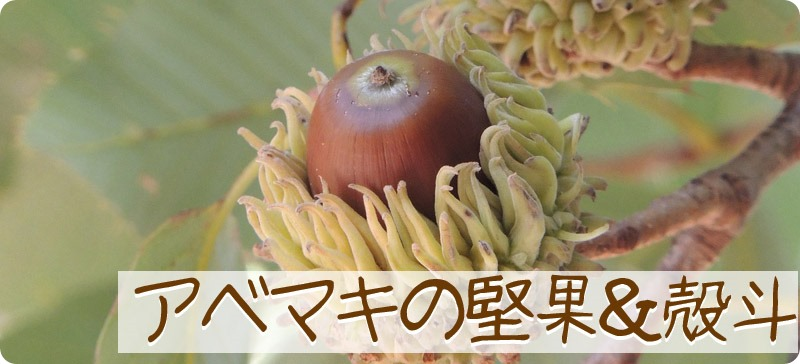 保育園で教えられるアベマキの堅果と殻斗